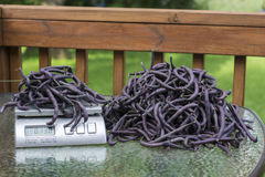 Weighing Purple Green Beans For Farmers Market.  Royalty Free Stock Photos