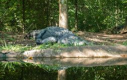 American Alligator. Weighing up to 700 pounds and reaching up to fifteen feet in length, American Alligators are carnivores who scientists say are more than 150 stock photos