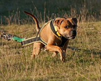 Weight pull for American stafforshire terrier Royalty Free Stock Images
