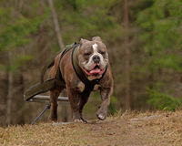 Weight pull for Bulldog Stock Photo