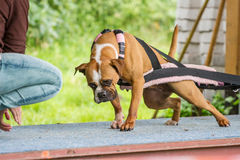 Weight Pulling dog Stock Image