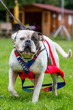 Weight pulling dog Royalty Free Stock Photo
