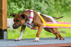 Weight Pulling dog Royalty Free Stock Photography
