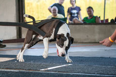 Weight pulling dog Stock Images