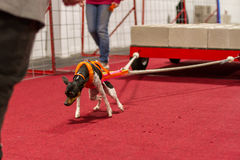 Weight Pulling dog Royalty Free Stock Photos
