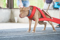 Weight pulling rednose Pitbull Royalty Free Stock Photography