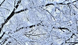 Weighted boughs turn down from latest nor easter snowfall royalty free stock images