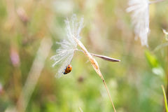 Weightlessness.Ladybug sitting on the seed dandelion. Royalty Free Stock Images