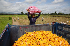 Weightlifting. Burmese women workers have to work hard to haul corn to the truck.Tak,Thailand Stock Photos