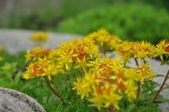 Weihenstephaner Gold Sedum. In Flower Royalty Free Stock Photography