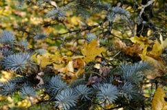 Weihnachten-Baum im Herbst Lizenzfreies Stockfoto