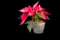 Weihnachten Eve Flower auf schwarzem Hintergrund stockfotos