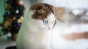 Weihnachten - kleine Katze mit unterschiedlicher Augenfarbe Lizenzfreies Stockbild