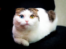 Weihnachten - kleine Katze mit unterschiedlicher Augenfarbe Lizenzfreies Stockfoto