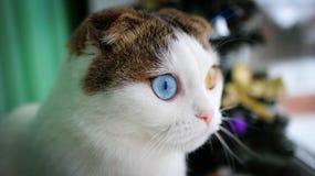 Weihnachten - kleine Katze mit unterschiedlicher Augenfarbe Stockfotos