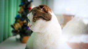 Weihnachten - kleine Katze mit unterschiedlicher Augenfarbe Lizenzfreie Stockfotos