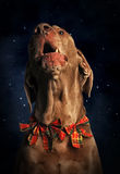 Weihnachten mit Hund Lizenzfreies Stockfoto
