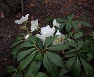 Weihnachten Rose in einem Garten Lizenzfreie Stockfotografie