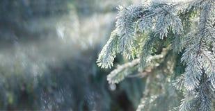 Weihnachten, Winterhintergrund mit eisigem Thujabaum Niedrige Schärfentiefe lizenzfreies stockfoto