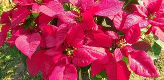 Weihnachtenstern oder Poinesettia stockfoto