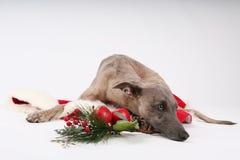 Weihnachtenwhippet Stockfotografie