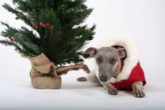 Weihnachtenwhippet Lizenzfreie Stockfotografie