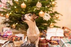 Weihnachts-Jack Russell Terrier-Hündchen vor einem Weihnachtsbaum stockfotos