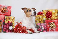 Weihnachts-Jack Russell-Terrier mit Geschenken lizenzfreies stockfoto