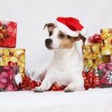 Weihnachts-Jack Russell-Terrier mit Geschenken Stockfotos