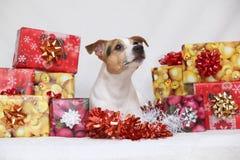 Weihnachts-Jack Russell-Terrier mit Geschenken lizenzfreies stockbild