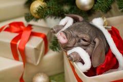 Weihnachts- und des neuen Jahreskarte mit nettem neugeborenem Sankt-Schwein im Geschenk Lizenzfreies Stockbild