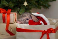 Weihnachts- und des neuen Jahreskarte mit nettem neugeborenem Sankt-Schwein im Geschenkpräsentkarton Dekorationssymbol des Jahr C Lizenzfreies Stockbild