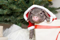 Weihnachts- und des neuen Jahreskarte mit nettem neugeborenem Sankt-Schwein im Geschenkpräsentkarton Dekorationssymbol des Jahr C Stockbild