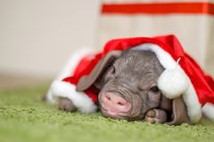 Weihnachts- und des neuen Jahreskarte mit nettem neugeborenem Sankt-Schwein im Geschenkpräsentkarton Dekorationssymbol des Jahr C Stockfoto