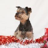 Weihnachts-Yorkshire-Terrier Lizenzfreies Stockbild
