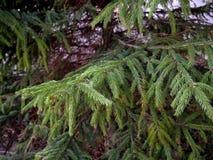 Weihnachtsbäume, die im Park in der nahen Ansicht wachsen lizenzfreie stockfotografie