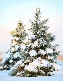 Weihnachtsbaum bedeckt mit frischem Schnee. Sunny Winter Day. Stockfoto