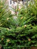 Weihnachtsbaum, bereitend für Weihnachten, DÃ-¼ sseldorf vor Lizenzfreies Stockbild
