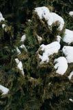 Weihnachtsbaum, die Kiefer, die mit Schnee, neues Jahr bedeckt wird, Winter ist Zeit stockfotografie