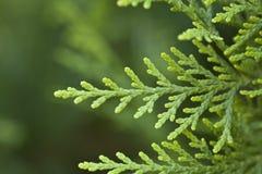 Weihnachtsbaum-Hintergrund Lizenzfreie Stockbilder