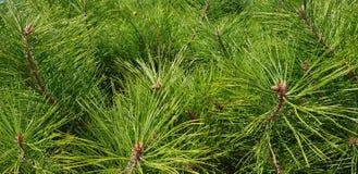 Weihnachtsbaum-Hintergrundfoto Beschaffenheit Große Sprünge, trockene Bretter lizenzfreies stockfoto