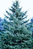 Weihnachtsbaum in voller Länge Stockbilder