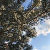 Weihnachtsbaumaste auf dem Himmel stockfoto