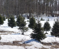 Weihnachtsbaumfarm Lizenzfreies Stockbild
