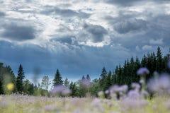 Weihnachtsbaumfarm-Waldholz mit Fichte und Tannenbäume und unscharfes Blumenfeld Sommerfrühlingslandschaft über drastischen Himme Stockbild
