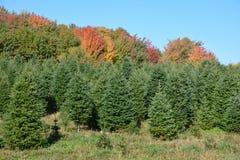 Weihnachtsbaumplantage stockfoto