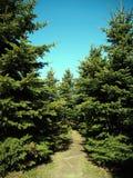 Weihnachtsbaumwald auf dem blauen Hintergrund lizenzfreies stockfoto