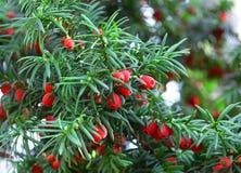Weihnachtsbild mit roten Beeren stockfotos