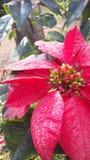 Weihnachtsblume Stockfotografie