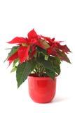Weihnachtsblume Lizenzfreies Stockfoto